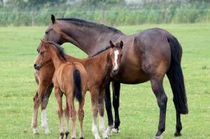 foal-467398_1280